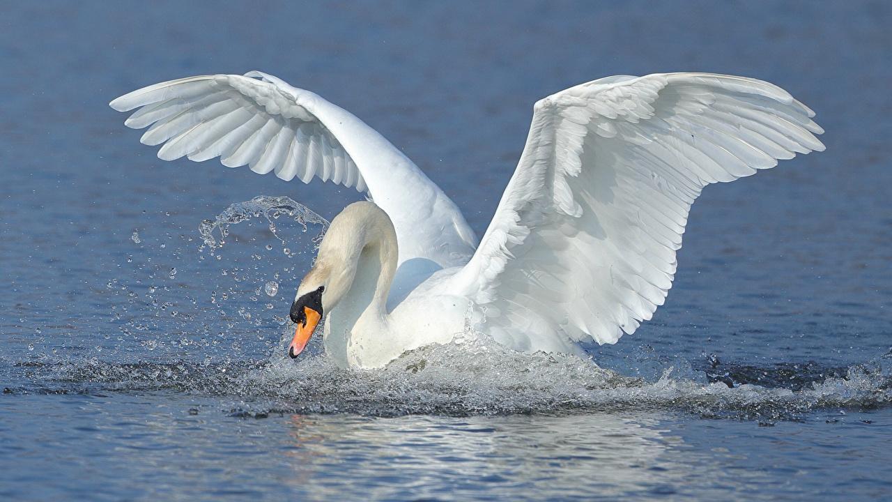 Фотография Птицы Лебеди Крылья Вода Животные