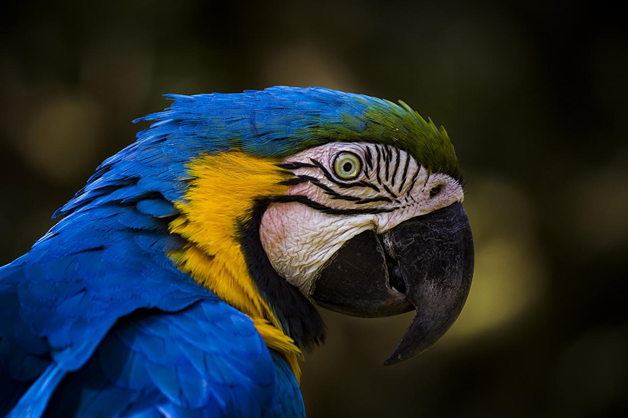 Обои Ара (род) Птицы Попугаи Клюв Синий головы животное синих синие синяя Голова Животные