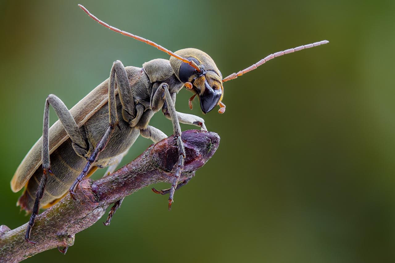 Фотография Жуки насекомое epicauta животное Крупным планом Насекомые вблизи Животные
