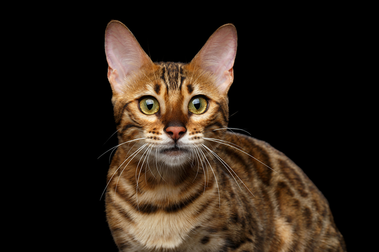 Фотографии Бенгальская кошка кошка Взгляд животное Черный фон кот коты Кошки смотрят смотрит Животные на черном фоне