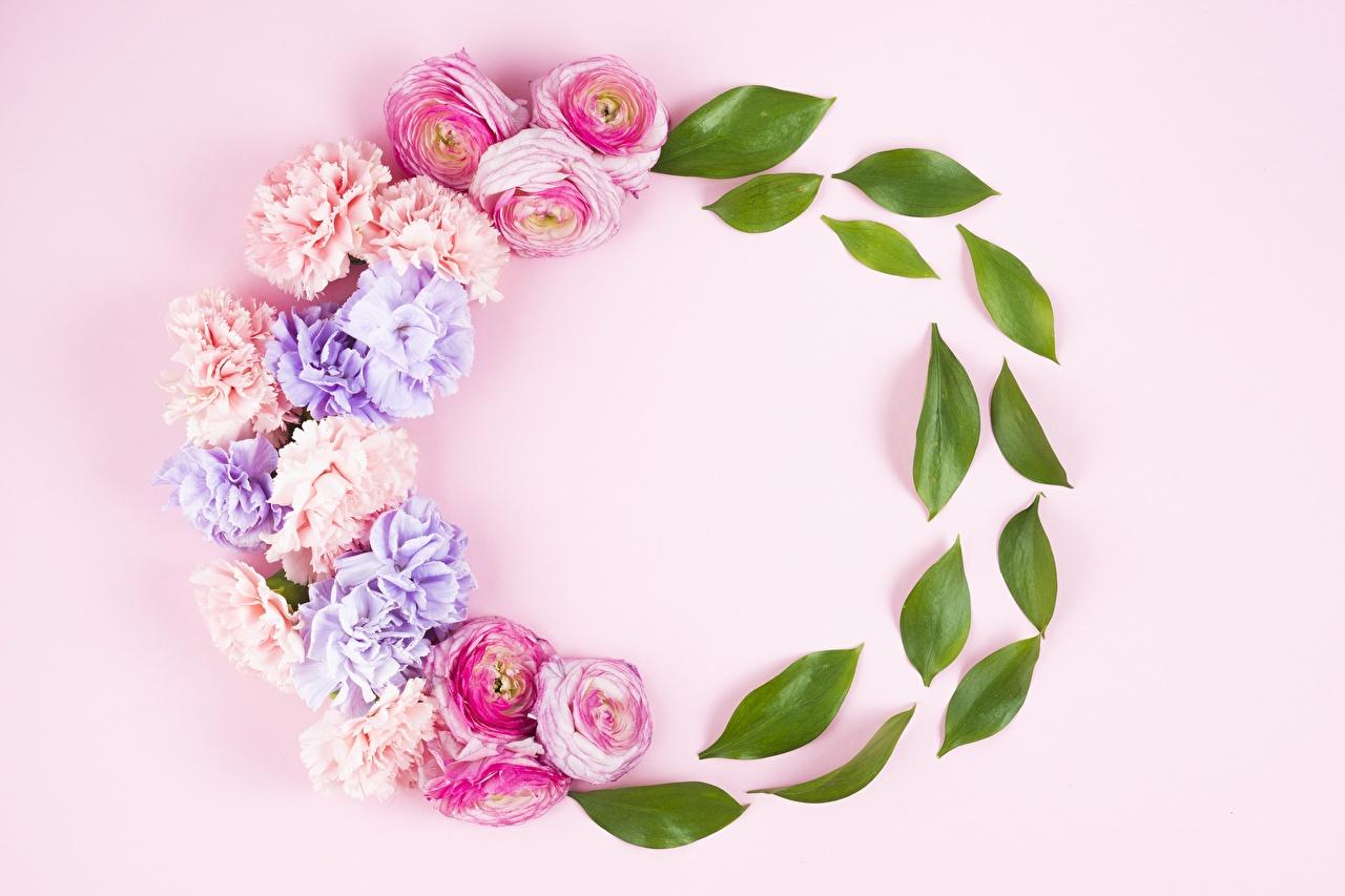 Картинка Листва роза цветок Гвоздики Розовый фон лист Листья Розы Цветы гвоздика