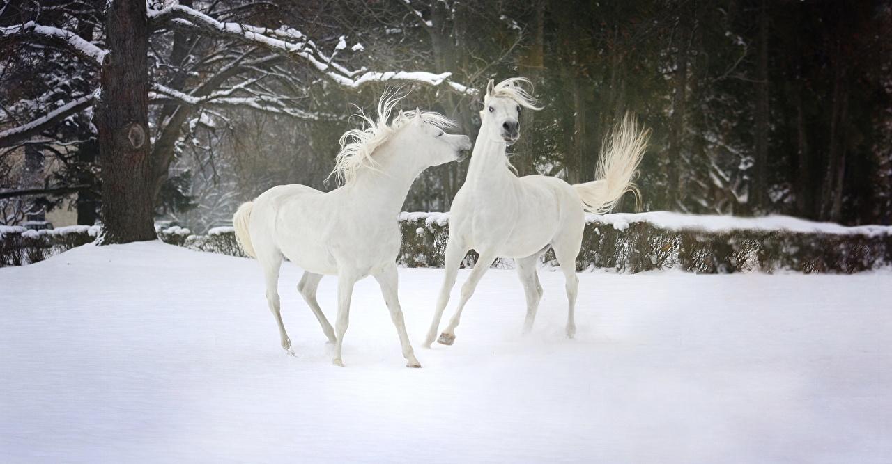Картинки Лошади 2 Белый зимние Снег Животные Зима Двое вдвоем