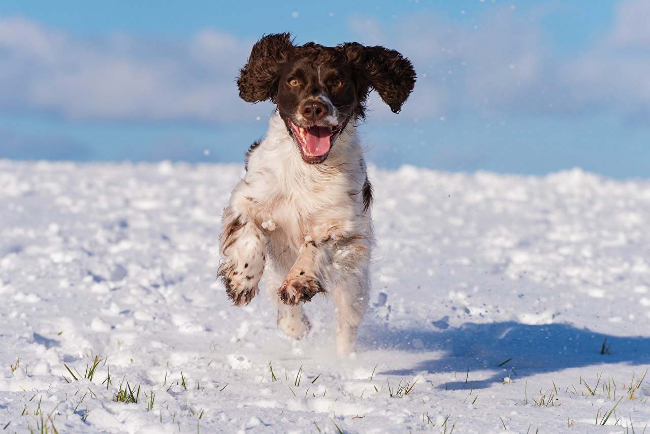 Фотографии Спаниель Собаки Бег cocker spaniel Снег Животные