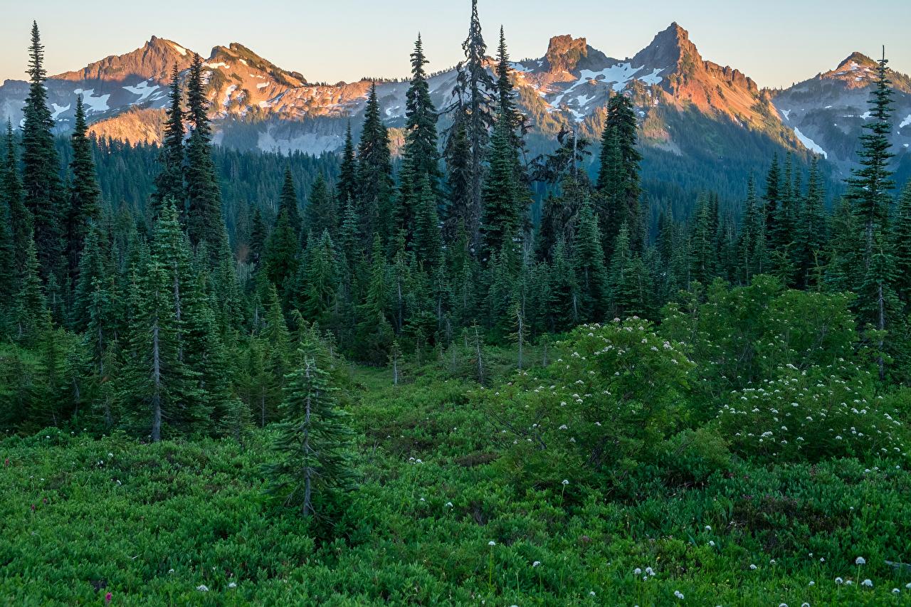 Картинки США Mount Rainier National Park Ель Горы Природа Леса Парки Трава штаты