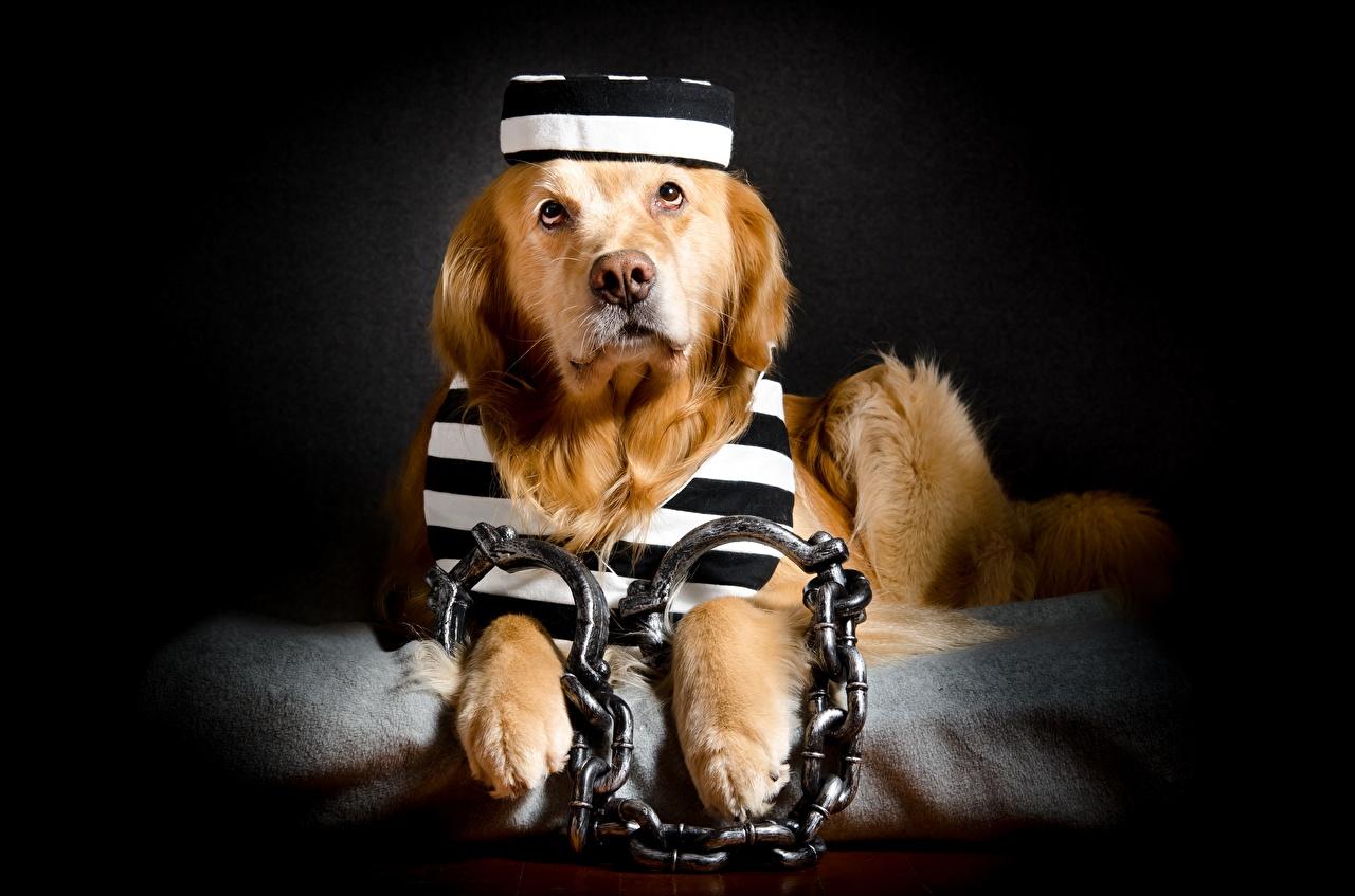 Обои Голден Ретривер Собаки Наручники Смешные Цепь Животные Золотистый ретривер забавные