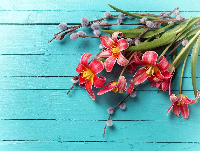 Фото тюльпан Цветы Доски Тюльпаны цветок
