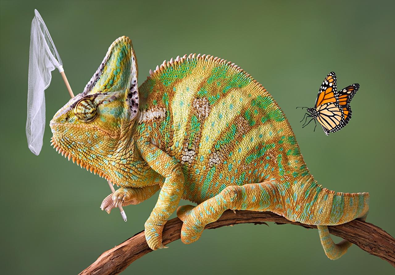 Картинки Бабочки Хамелеоны на ветке Животные Цветной фон бабочка Хамелеон Ветки ветка ветвь животное