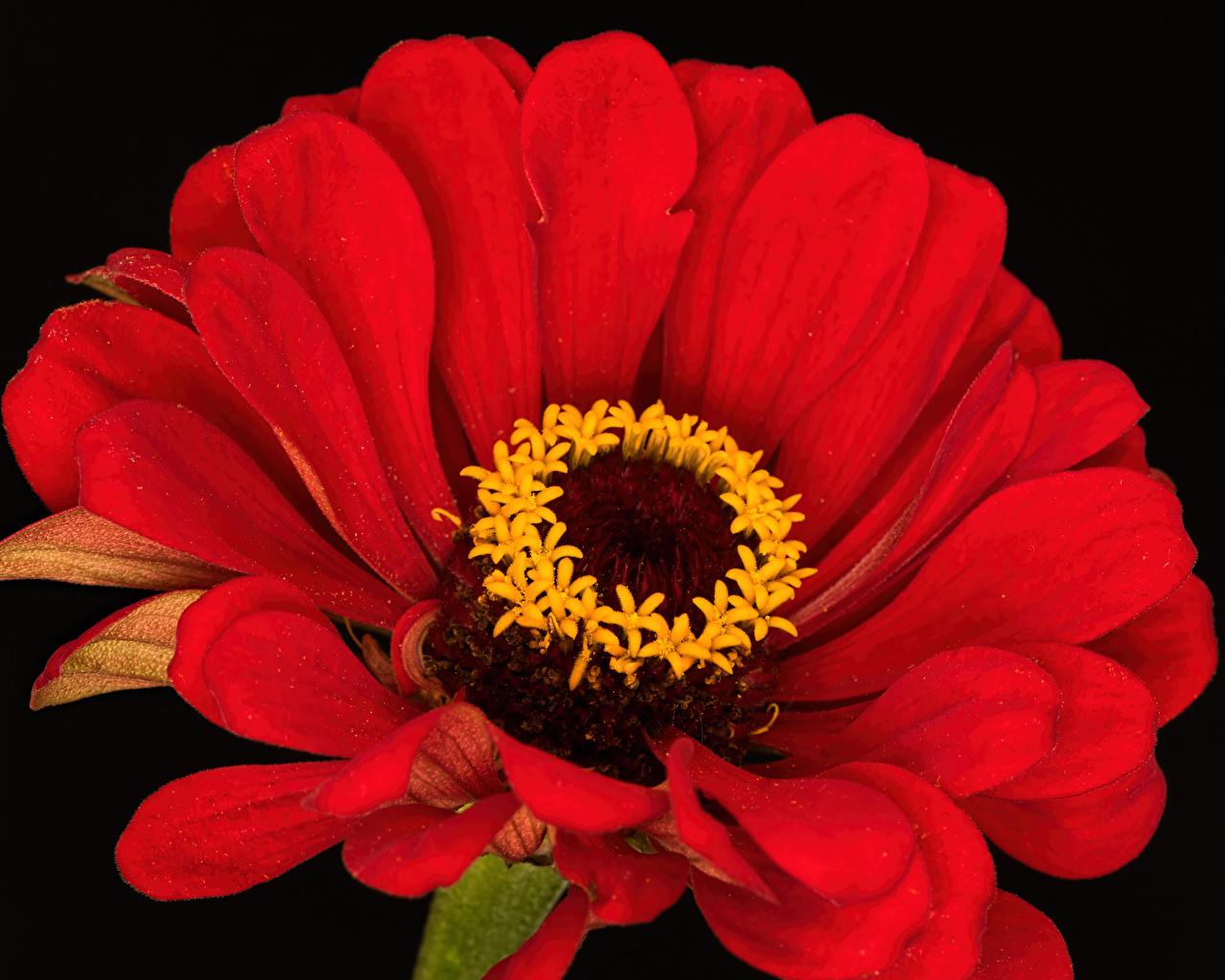 Картинки Красный Цветы Циннии Черный фон Крупным планом красных красные красная цветок Майоры вблизи на черном фоне