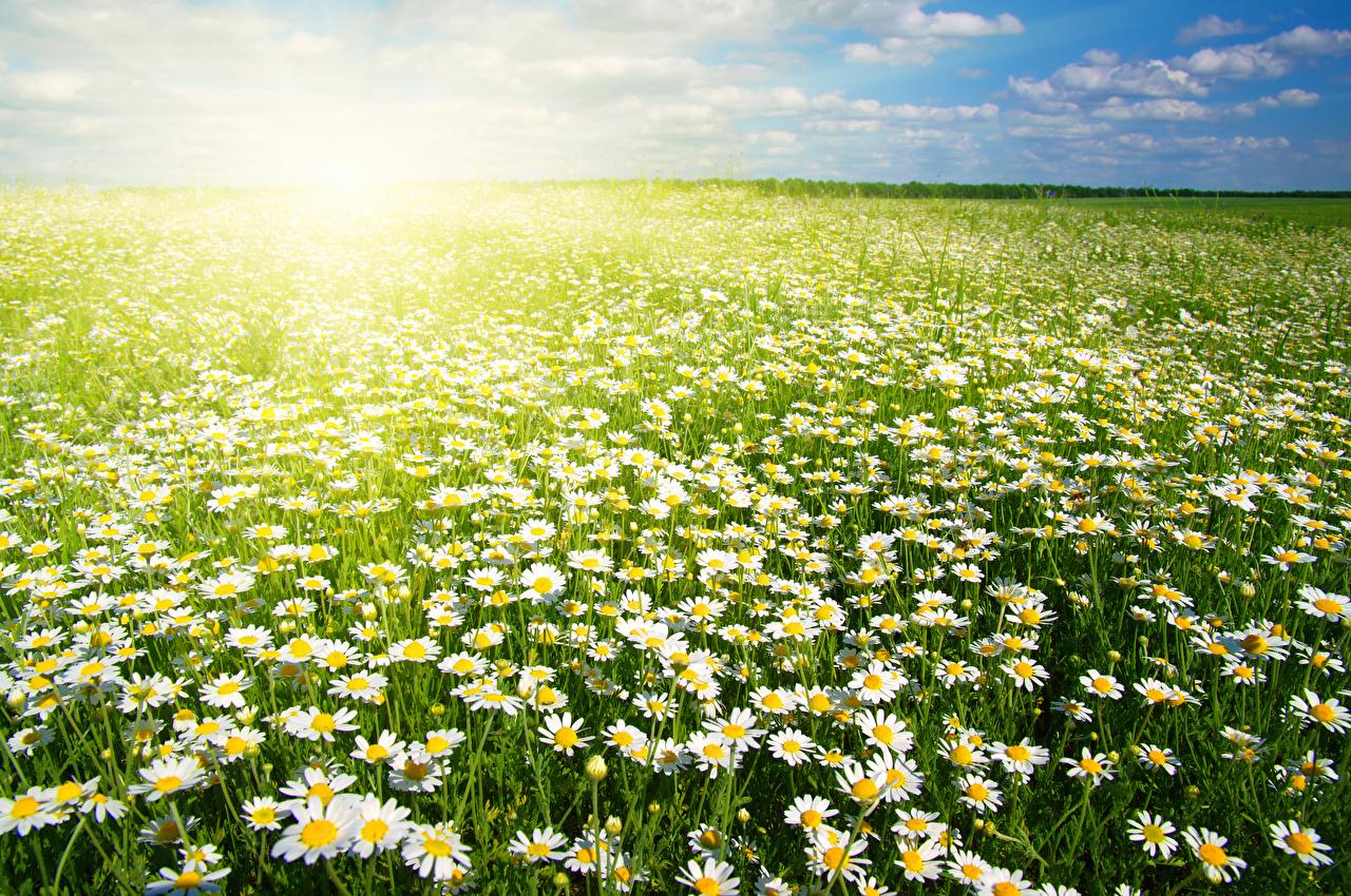 Фотографии Поля цветок Ромашки Много Цветы