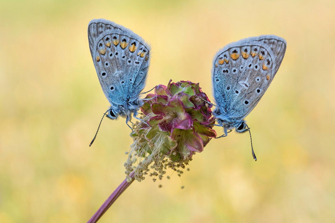 Картинка бабочка насекомое common blue два Животные Крупным планом Бабочки Насекомые 2 две Двое вдвоем вблизи животное