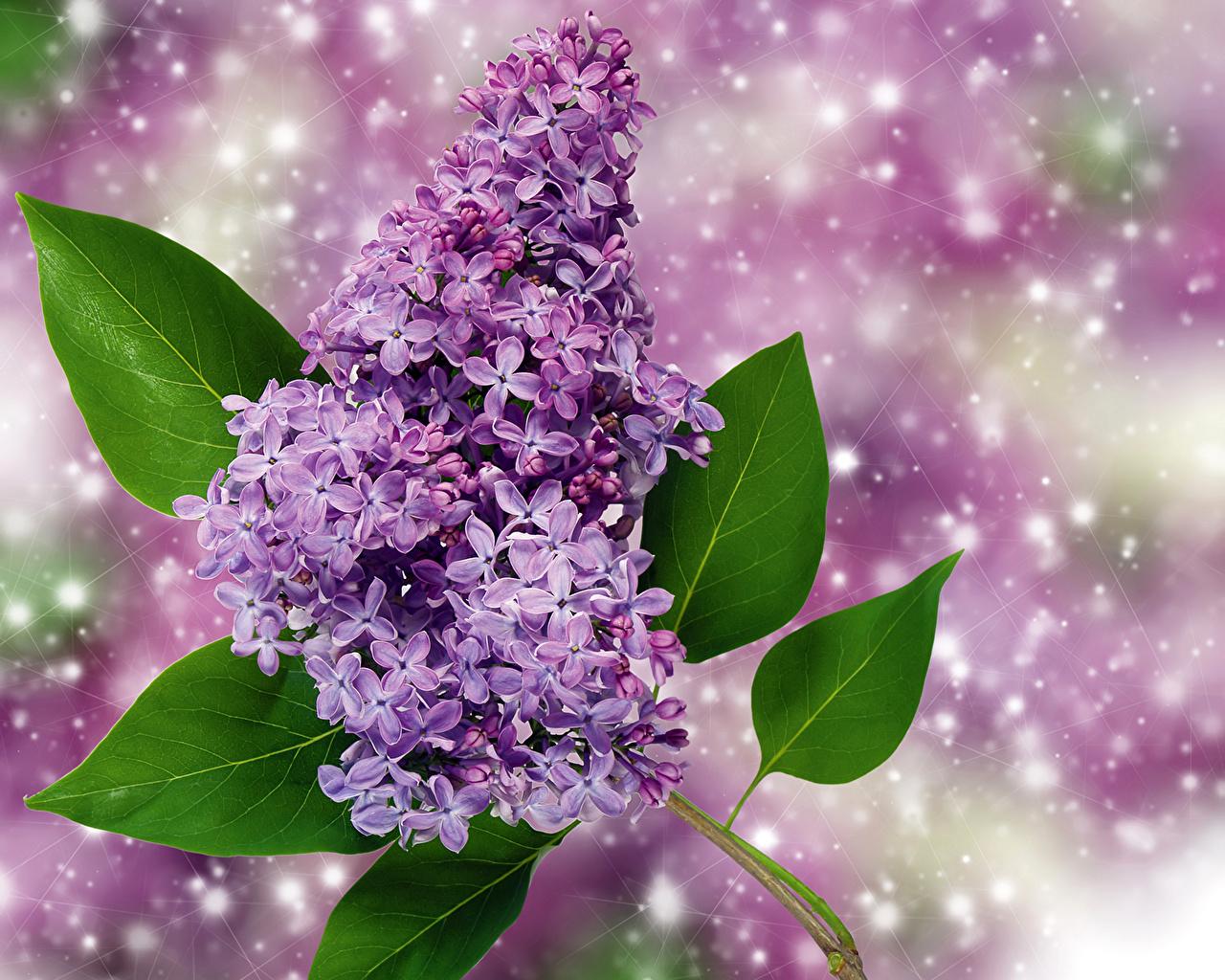 Картинки Цветы Сирень Крупным планом цветок вблизи