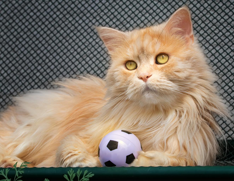 Фотография кошка рыжая пушистые Мяч смотрит животное кот коты Кошки Рыжий рыжие Пушистый пушистая Мячик Взгляд смотрят Животные