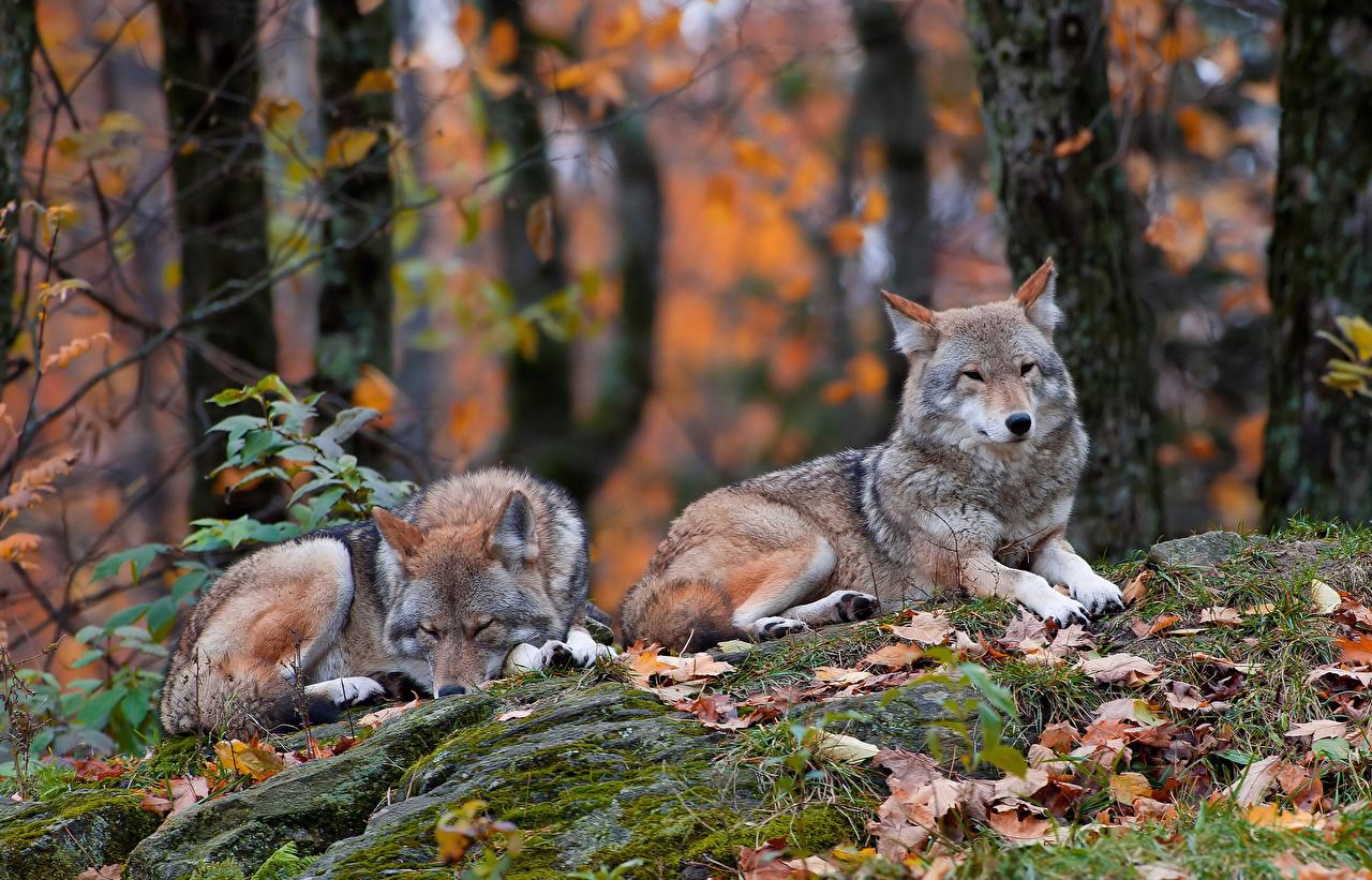Фото волк Двое Животные Волки 2 два две вдвоем животное