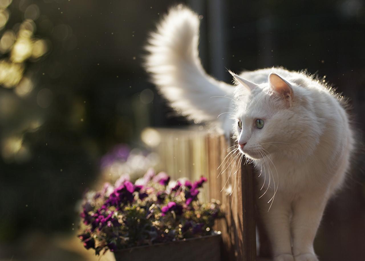 Фотографии Кошки Белый смотрит Животные Коты Взгляд