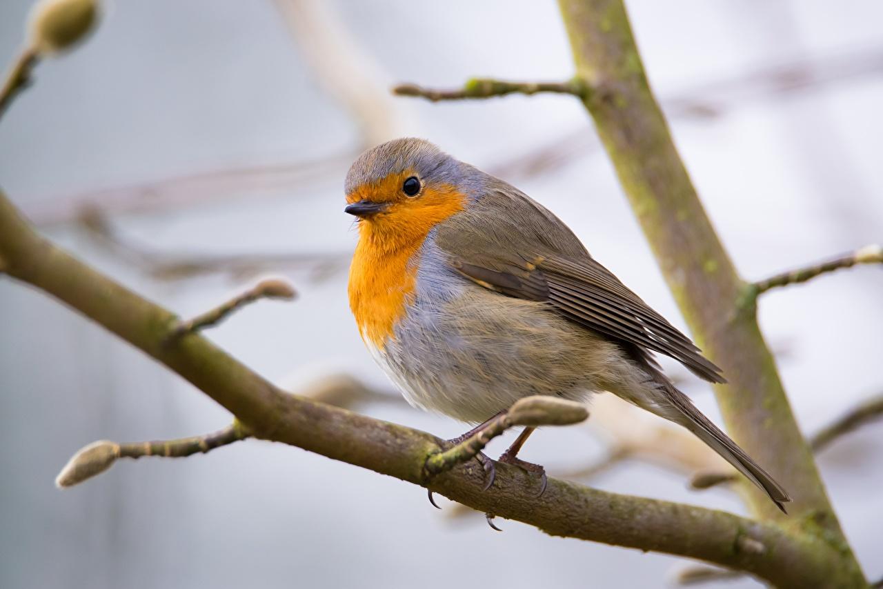 Картинка Птицы Размытый фон на ветке животное птица боке ветвь ветка Ветки Животные