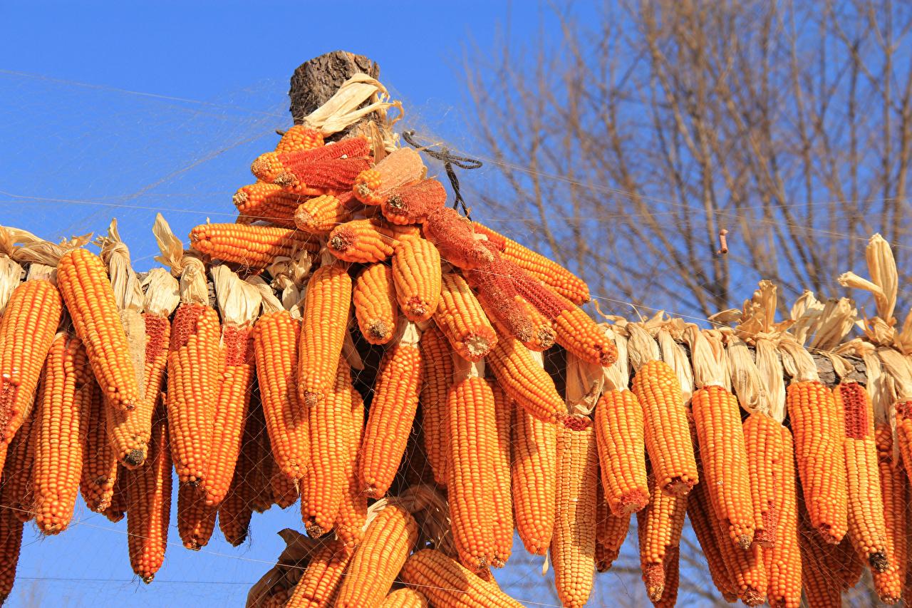 Фотография Кукуруза Продукты питания Много Еда Пища