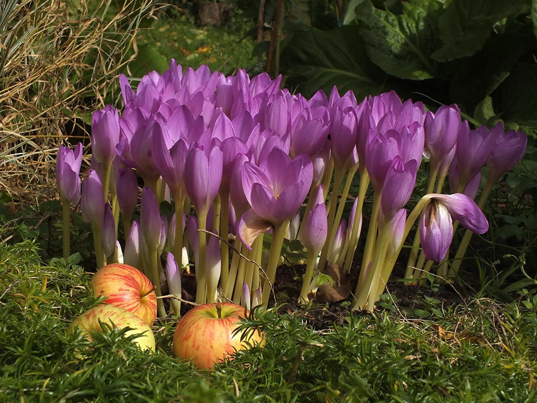 Картинки Фиолетовый цветок Яблоки Крокусы вблизи фиолетовых фиолетовые фиолетовая Цветы Шафран Крупным планом