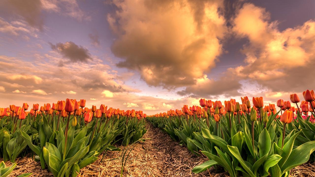 Обои для рабочего стола Тюльпаны оранжевых Поля Цветы тюльпан Оранжевый оранжевая оранжевые цветок