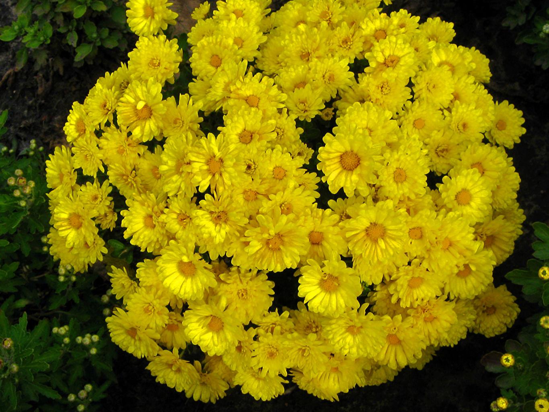Картинка Желтый Цветы Хризантемы Много желтая желтые желтых цветок