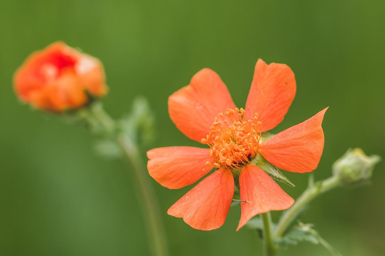 Обои для рабочего стола боке красных цветок Крупным планом Размытый фон красная красные Красный Цветы вблизи
