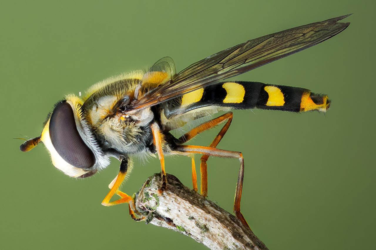 Картинки Мухи насекомое syrphidae вблизи животное Насекомые Животные Крупным планом
