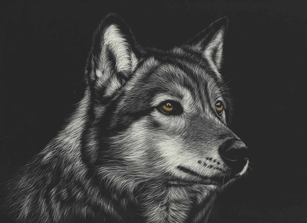 Картинки Волки Черно белое головы Животные Рисованные на черном фоне волк черно белые Голова животное Черный фон