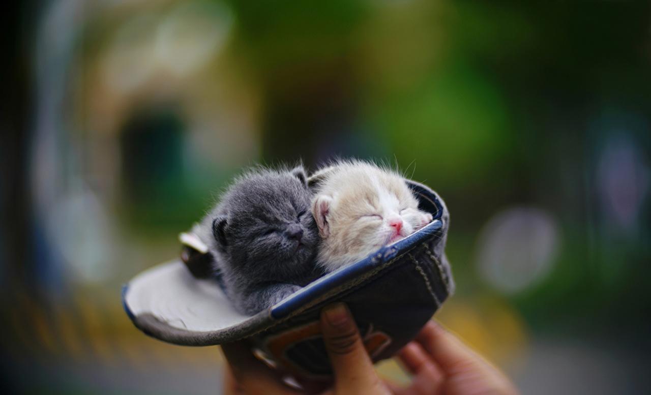 Картинки котят кот Размытый фон 2 Животные Бейсболка Котята котенок котенка коты кошка Кошки боке два две Двое вдвоем Кепка кепке кепкой животное