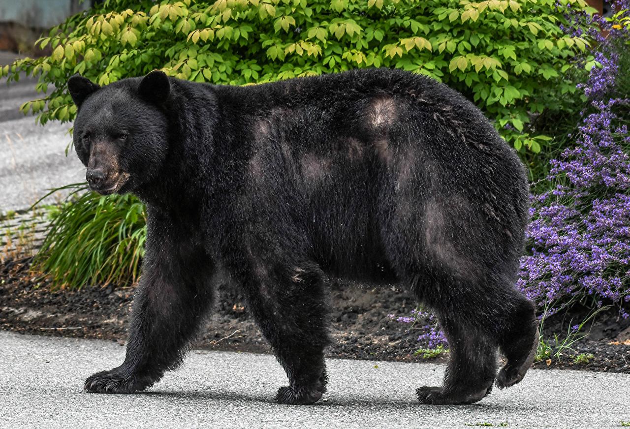 Картинки Гризли Медведи черная Сбоку Животные Бурые Медведи медведь Черный черные черных животное