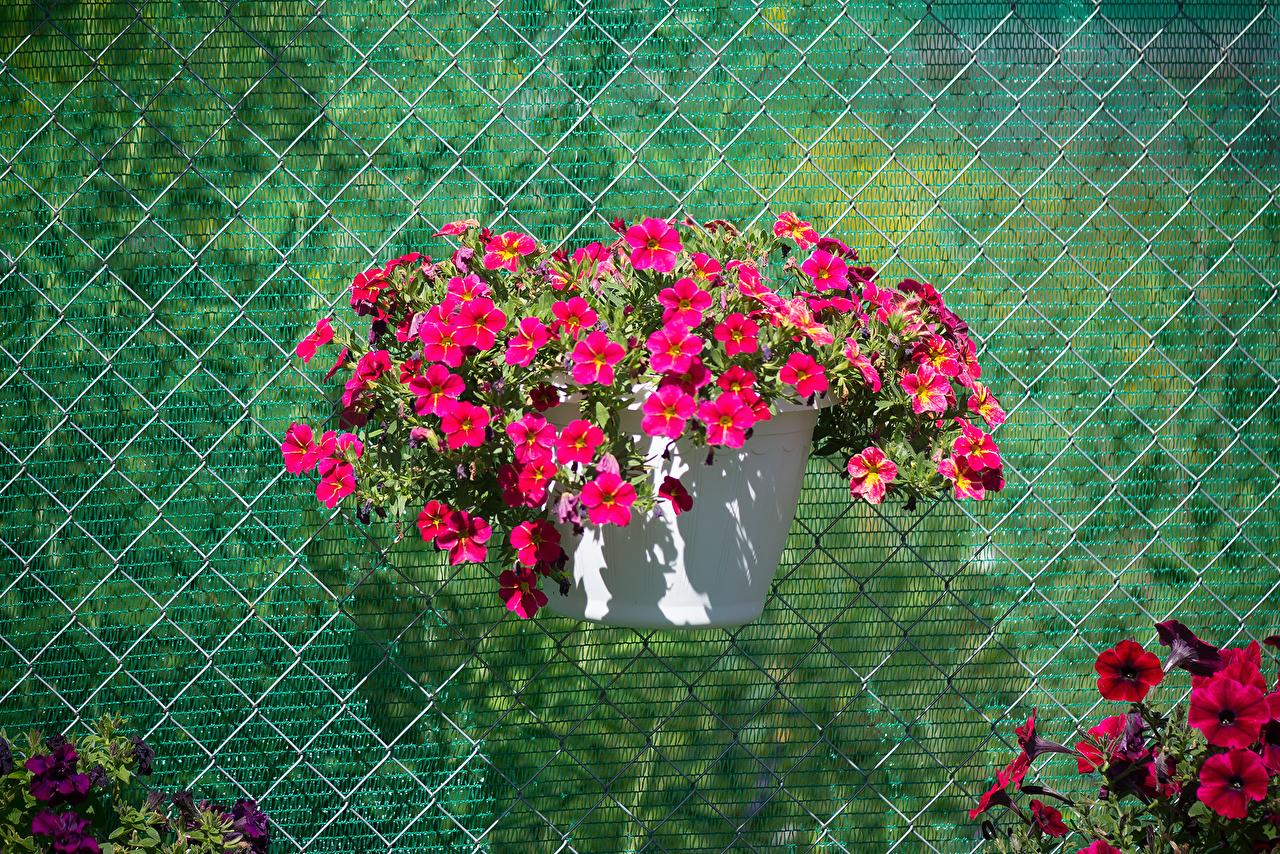 Фотография розовая Цветы Калибрахоа розовых розовые Розовый цветок