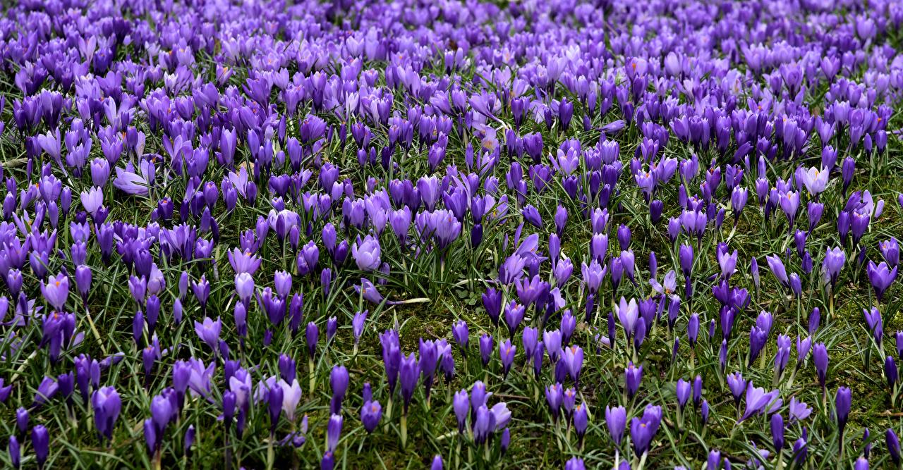 Фотография фиолетовых цветок Крокусы Много фиолетовая фиолетовые Фиолетовый Цветы Шафран