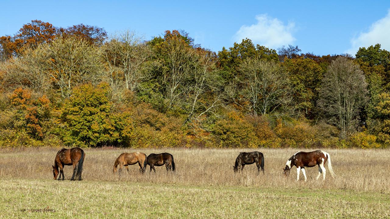 Картинки Лошади Великобритания Bradenham Estate Осень Природа Кусты деревьев животное лошадь осенние кустов дерево дерева Деревья Животные