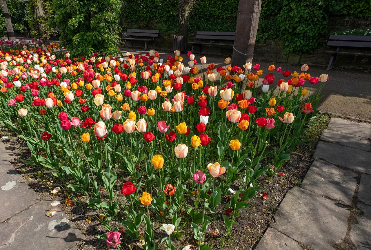 Фото Германия Botanischen Garten Solingen Разноцветные тюльпан Сады Цветы Много Тюльпаны цветок
