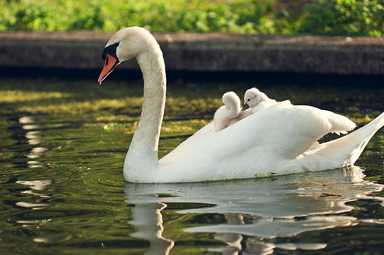 Обои Лебеди Птенцы Белый Вода Животные