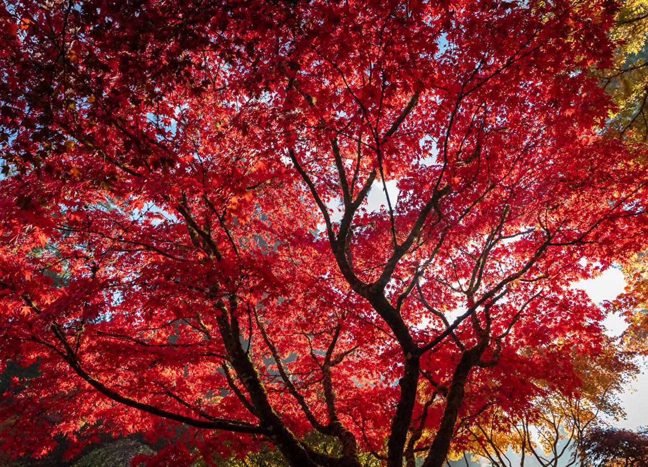 Фото Листья Клён Природа Красный осенние ветвь дерева лист Листва клёна клёновый Осень красных красная красные Ветки ветка на ветке дерево Деревья деревьев