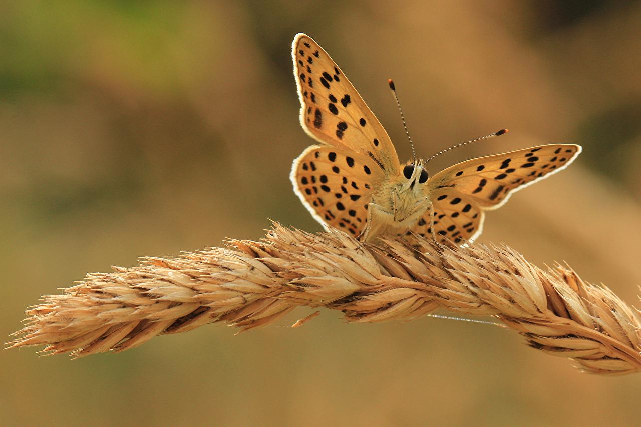 Обои для рабочего стола бабочка насекомое Колос вблизи животное Бабочки Насекомые колосок колоски колосья Животные Крупным планом