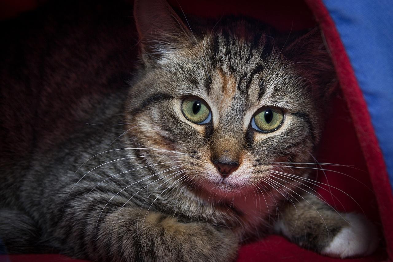 Картинки коты Усы Вибриссы Морда Взгляд Животные кот кошка Кошки морды смотрит смотрят животное