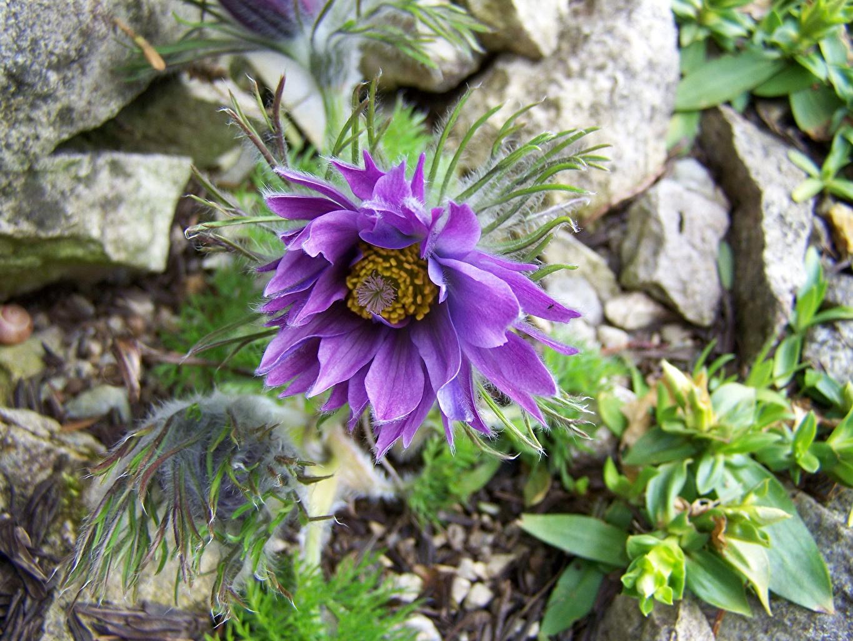 Фото Фиолетовый цветок Прострел вблизи фиолетовых фиолетовые фиолетовая Цветы Крупным планом