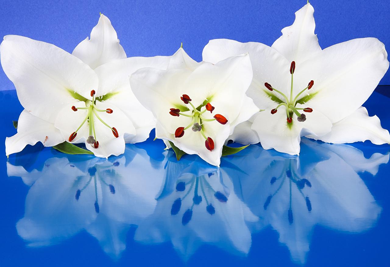 Фотографии Белый Лилии Цветы Отражение Трое 3 вблизи Цветной фон втроем Крупным планом