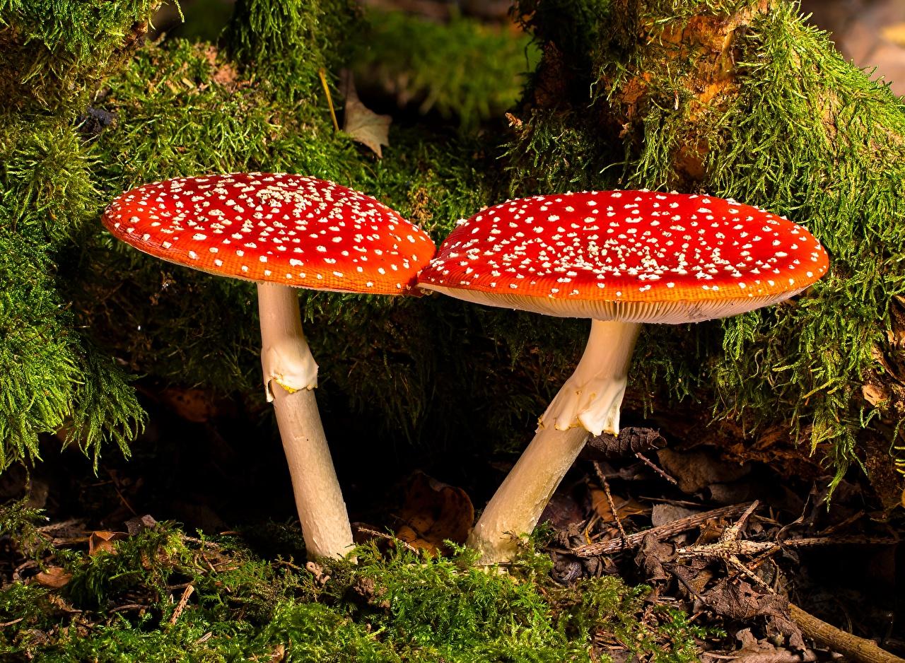 Картинки 2 Природа красных Мухомор мха Грибы природа Крупным планом два две Двое вдвоем Красный красная красные Мох мхом вблизи
