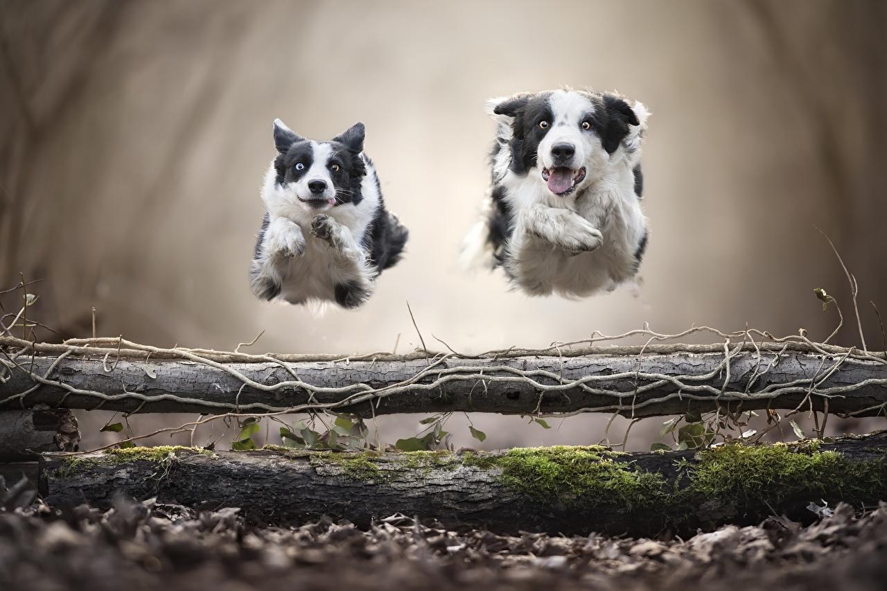 Фотографии Бордер-колли Собаки бежит 2 прыгать Животные собака Бег бегущая бегущий два две Двое вдвоем Прыжок прыгает в прыжке животное
