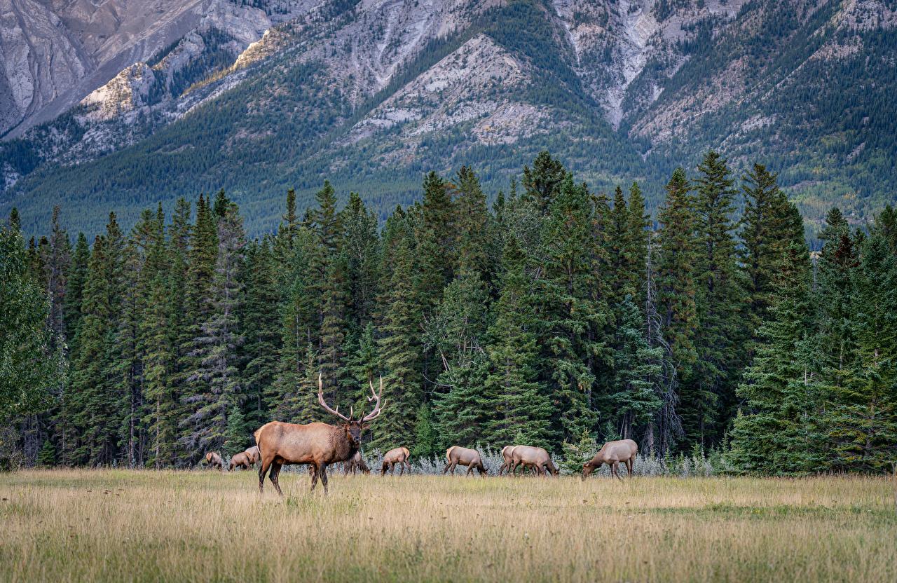 Обои для рабочего стола Банф Олени Канада Ель Горы Природа лес Парки Животные ели гора парк Леса животное