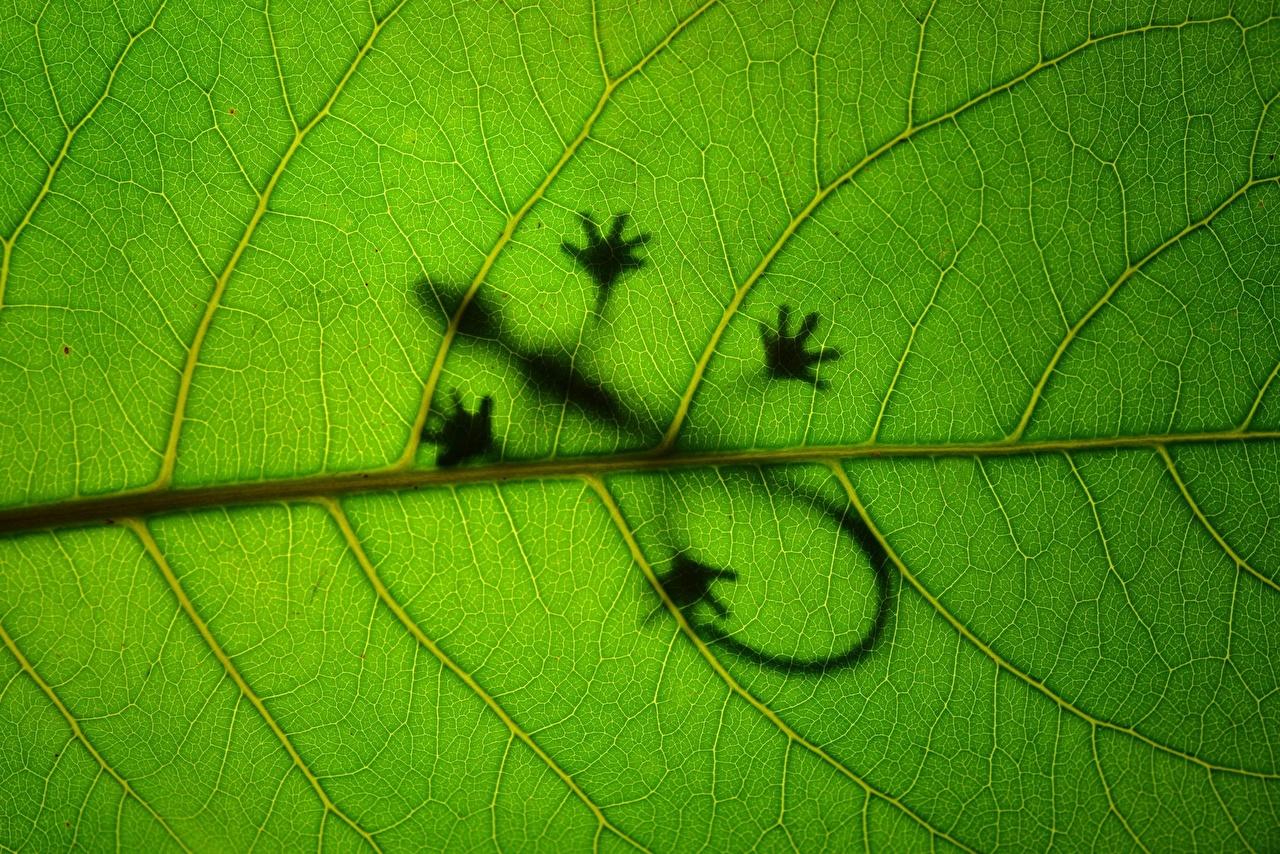 Фотографии Ящерицы Листья силуэта Природа животное Крупным планом Ящерица лист Листва Силуэт силуэты вблизи Животные