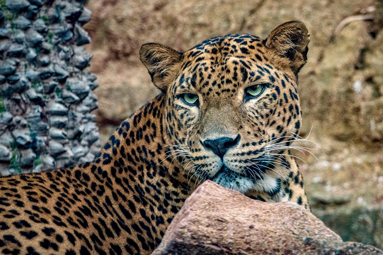 Картинка Леопарды Большие кошки Морда смотрят животное леопард морды Взгляд смотрит Животные