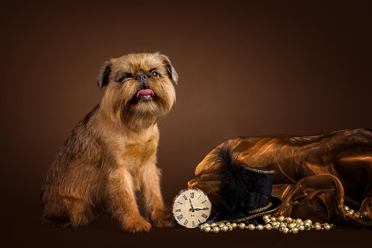 Картинки Собаки Brussels Griffon Часы Шляпа животное Цветной фон собака шляпе шляпы Животные