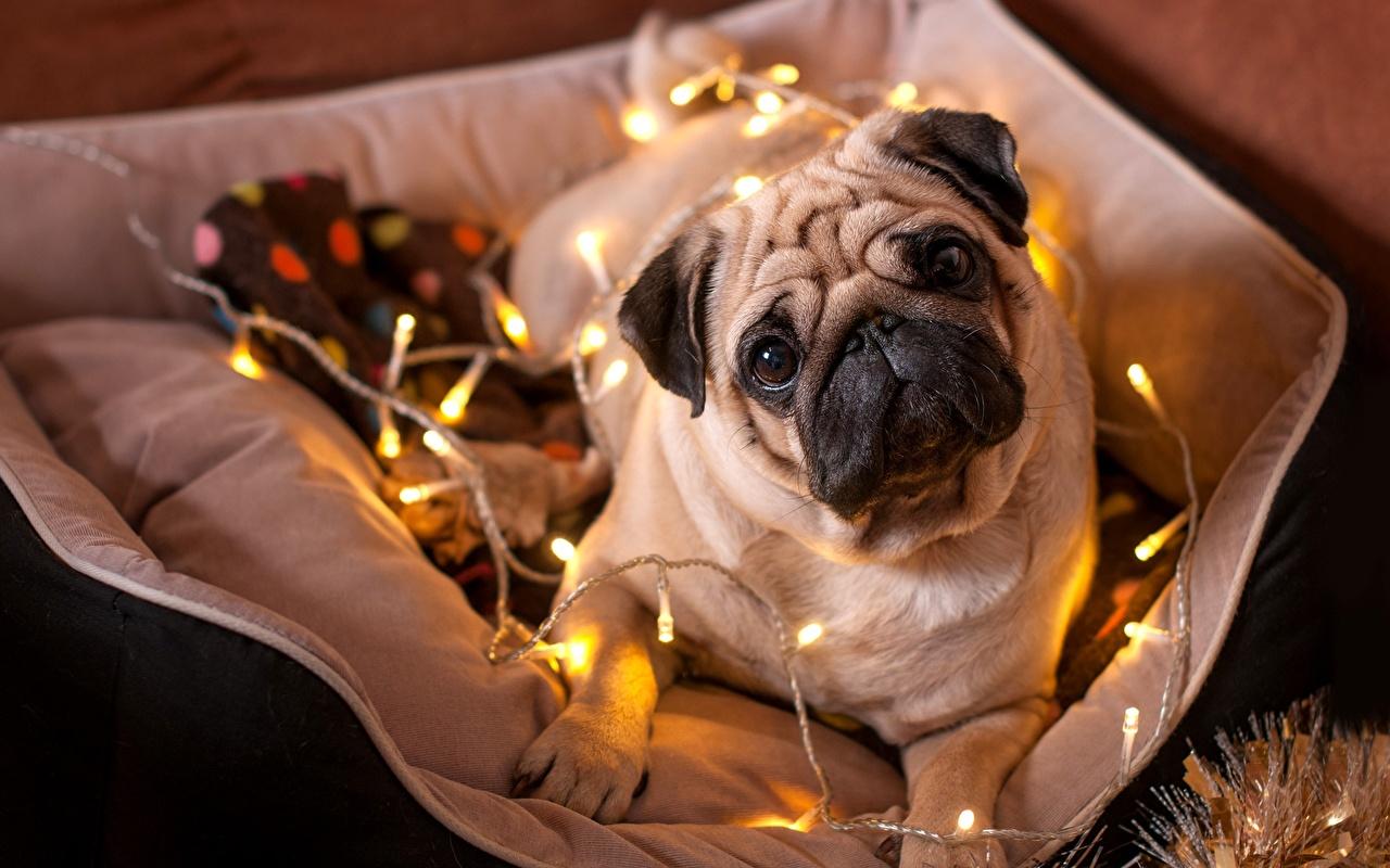 Фотография бульдога Собаки Рождество Гирлянда смотрит животное Бульдог собака Новый год Электрическая гирлянда Взгляд смотрят Животные