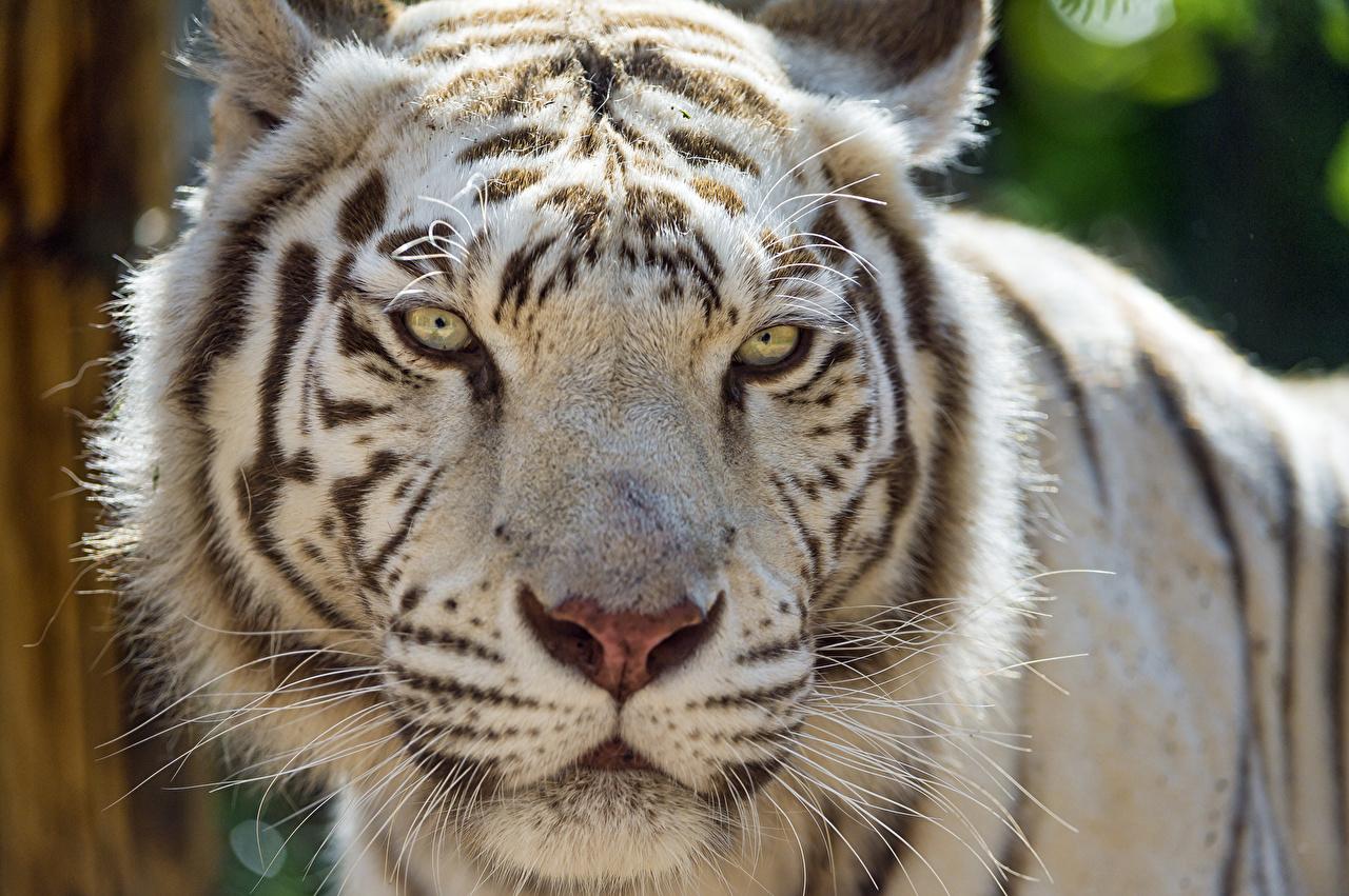 Тигры Белый Морда Взгляд Голова ©Tambako The Jaguar смотрит Животные