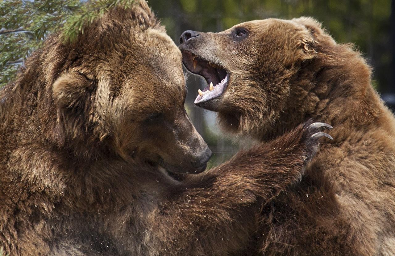 Фотографии Бурые Медведи медведь Двое Драка Оскал животное Гризли Медведи 2 два две вдвоем дерется дерутся сражение злой рычит злость Животные