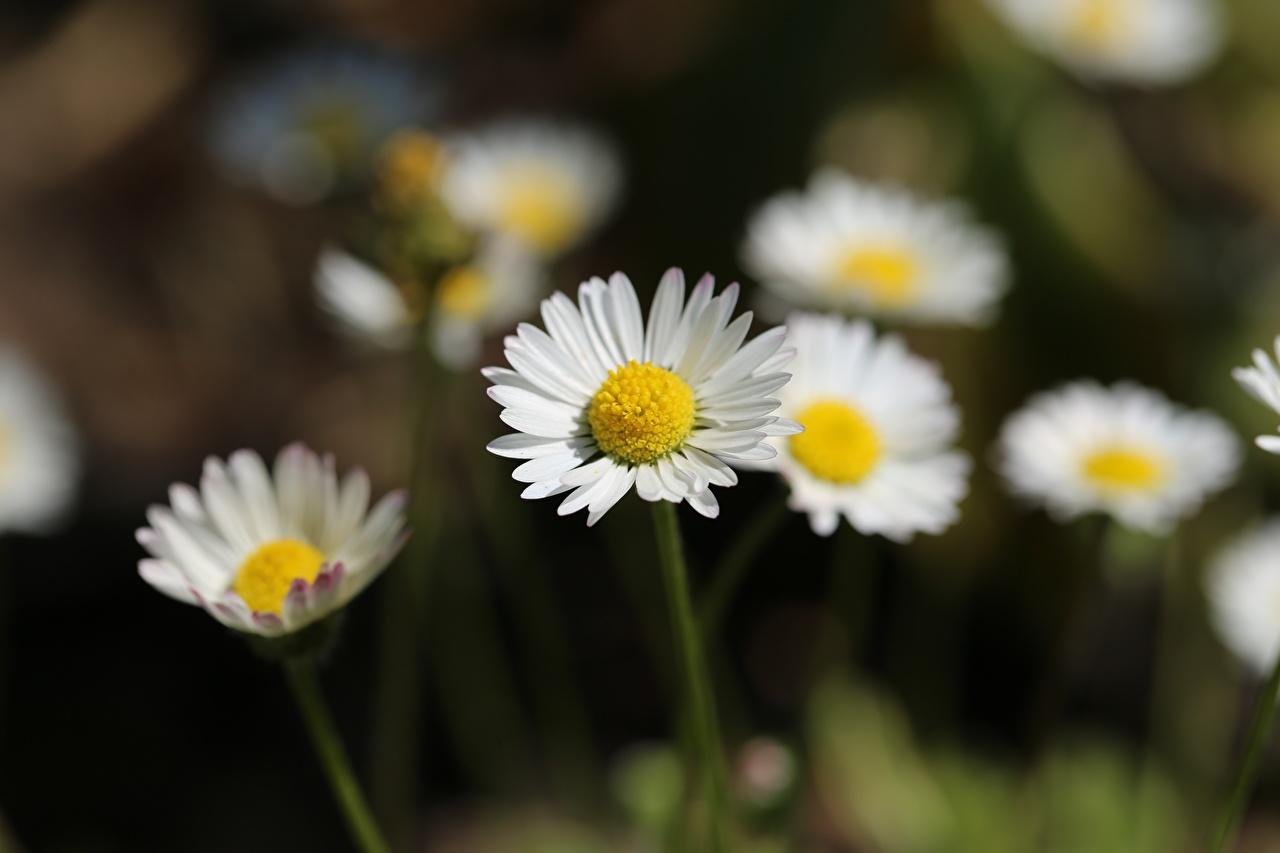 Картинки Размытый фон цветок Ромашки боке Цветы ромашка