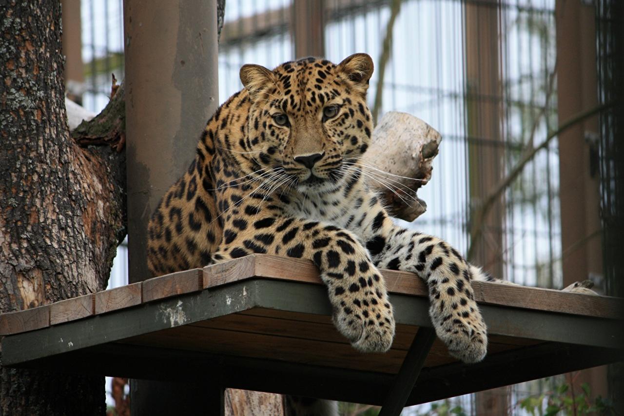 Картинки леопард Большие кошки лап Взгляд животное Леопарды Лапы смотрит смотрят Животные