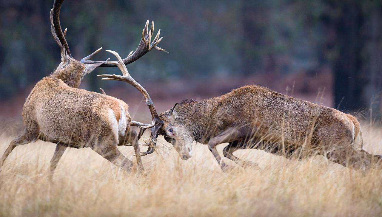 Фото Олени Рога Ударяет дерутся Животные Удар Бьет с рогами Драка дерется сражение животное